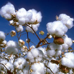 Cotton Transition Assistance Program enrollment begins