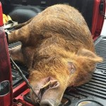 Lumberton hunter bags 400-pound wild boar