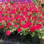 East holding Mother's Day plant sale